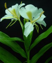 Live Collections » Gingers »  Hedychium