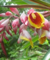 Live Collections » Gingers » ALPINIA