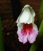 Live Collections » Gingers » Boesenbergia